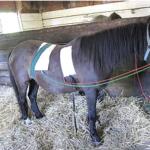 bicom_horse